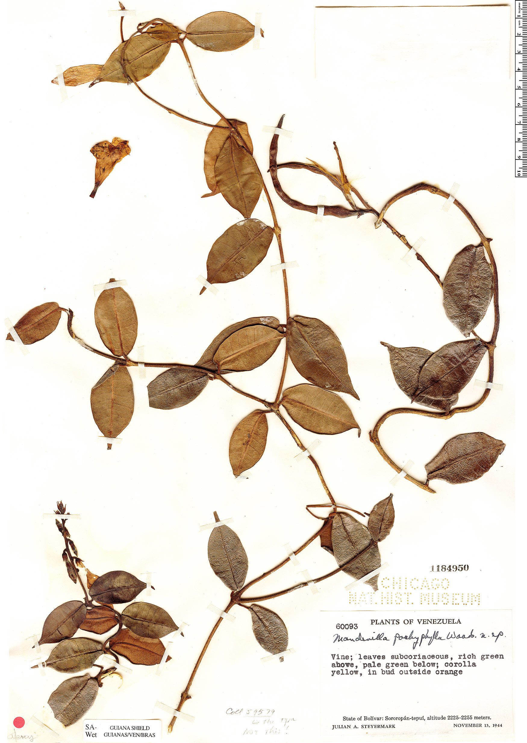 Specimen: Mandevilla pachyphylla