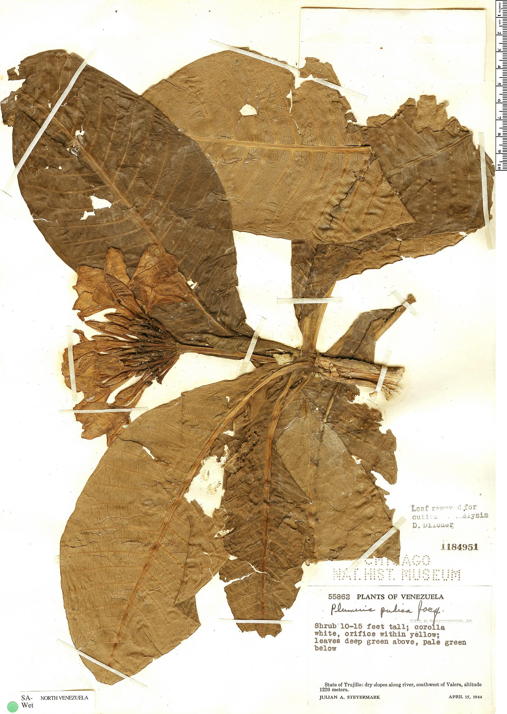 Specimen: Plumeria pudica