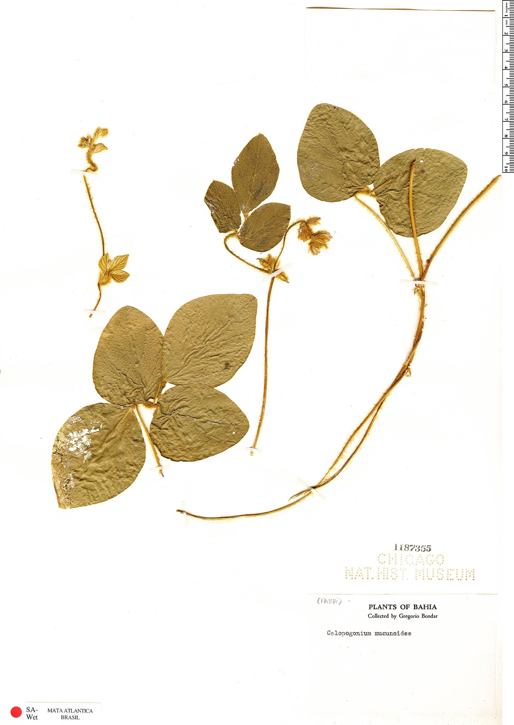Specimen: Calopogonium mucunoides