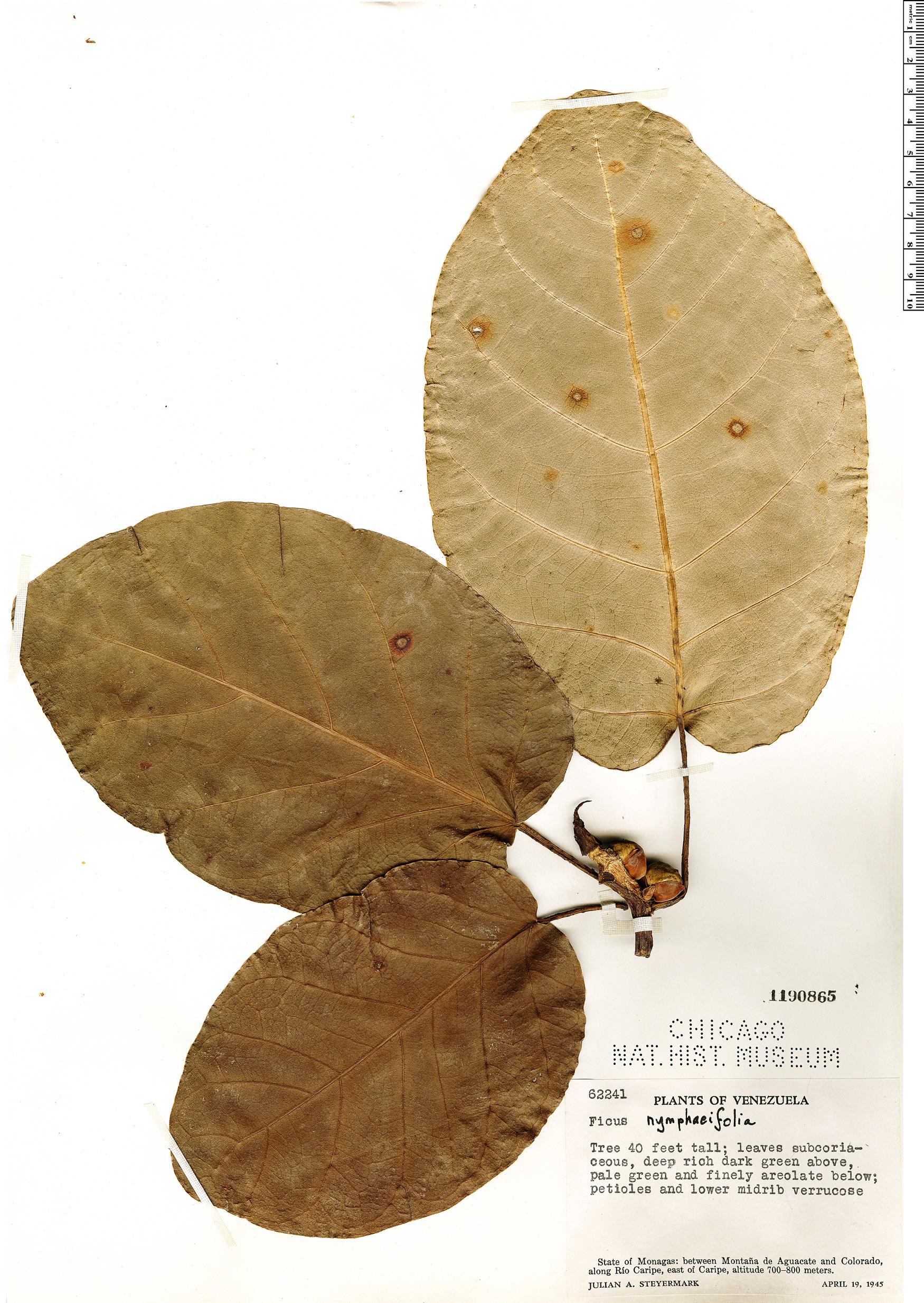 Specimen: Ficus nymphaeifolia