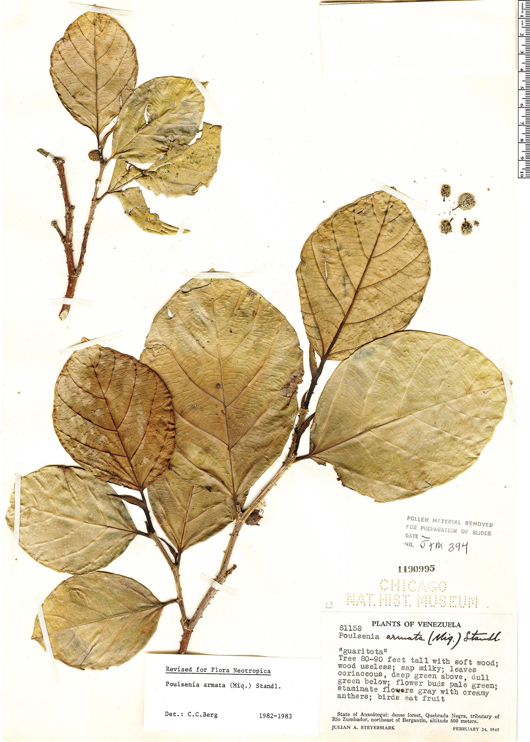 Espécime: Poulsenia armata