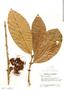 Syzygium malaccense (L.) Merr. & L. M. Perry, Guatemala, J. A. Steyermark 47620, F