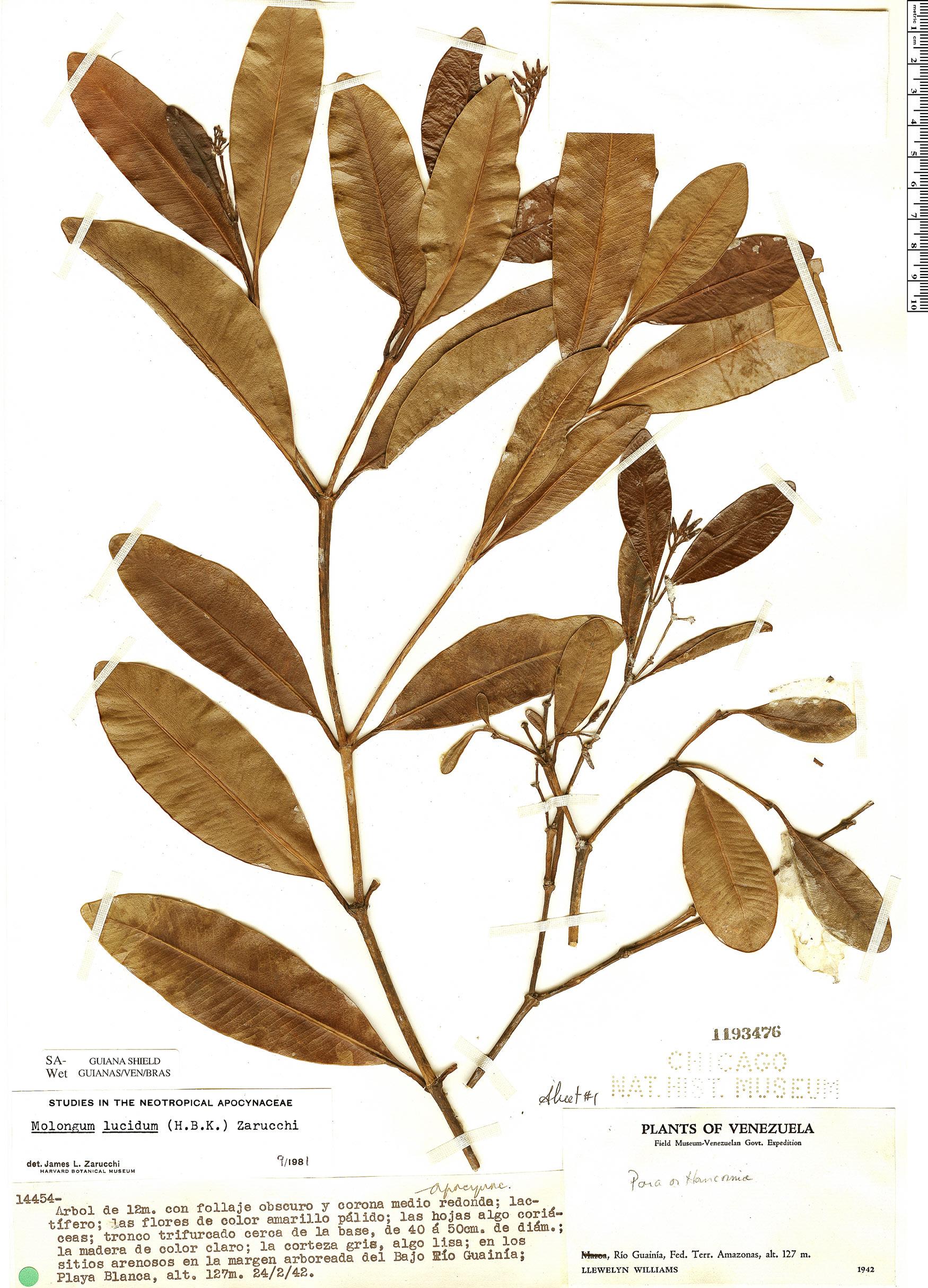 Specimen: Molongum lucidum