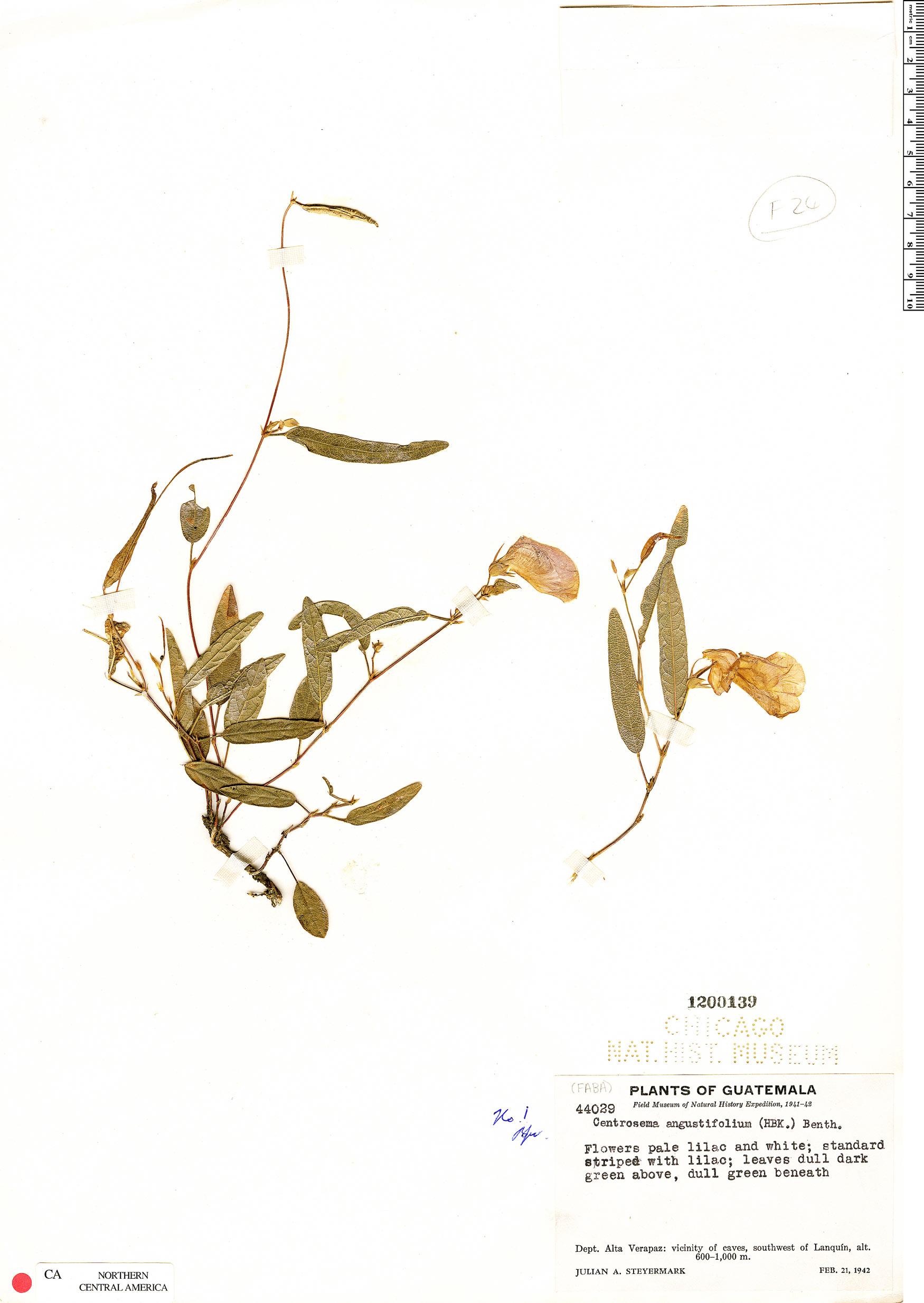 Centrosema angustifolium image