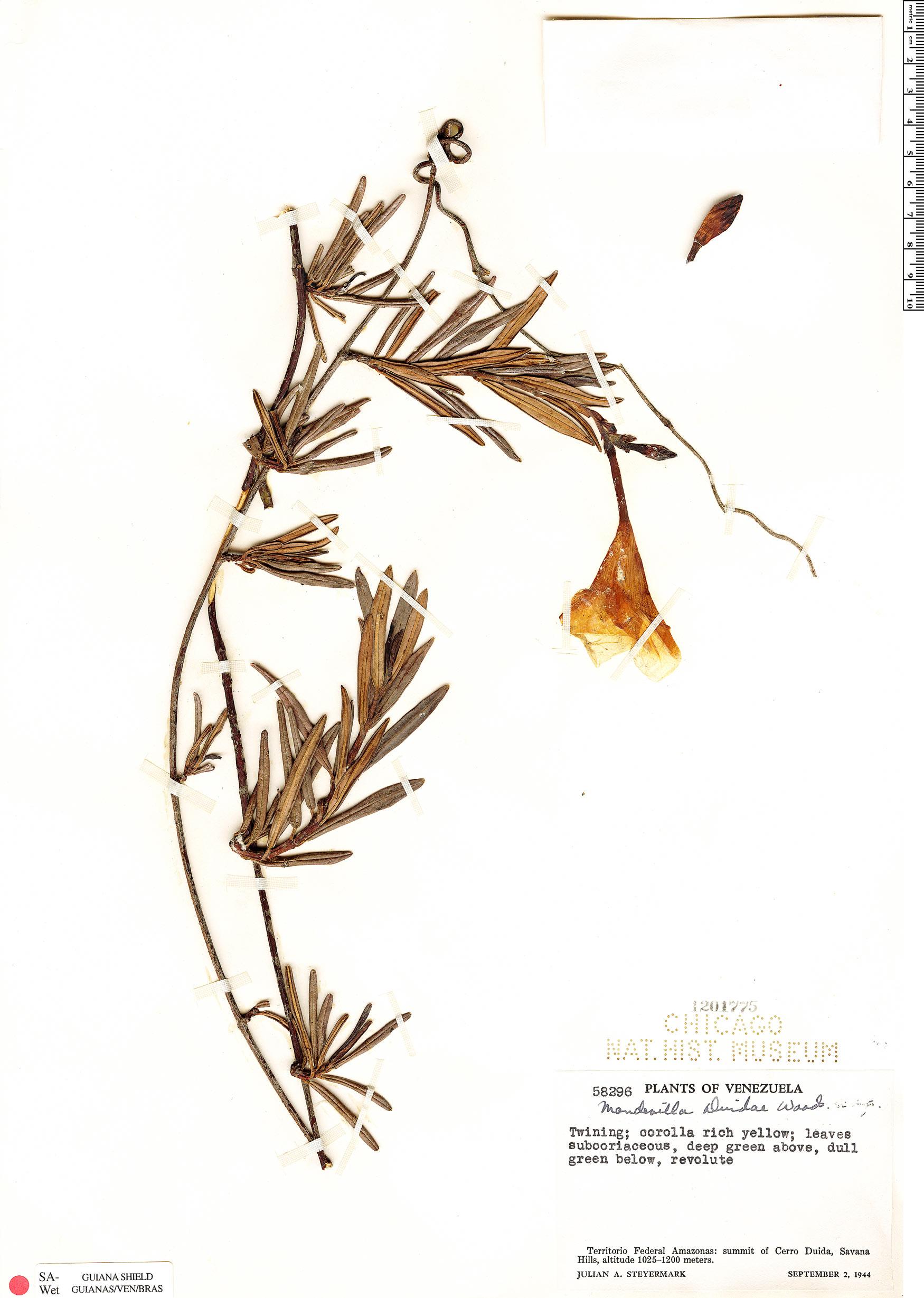 Specimen: Mandevilla duidae