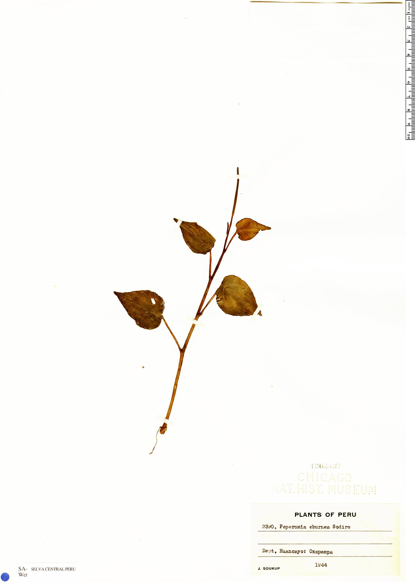 Specimen: Peperomia eburnea