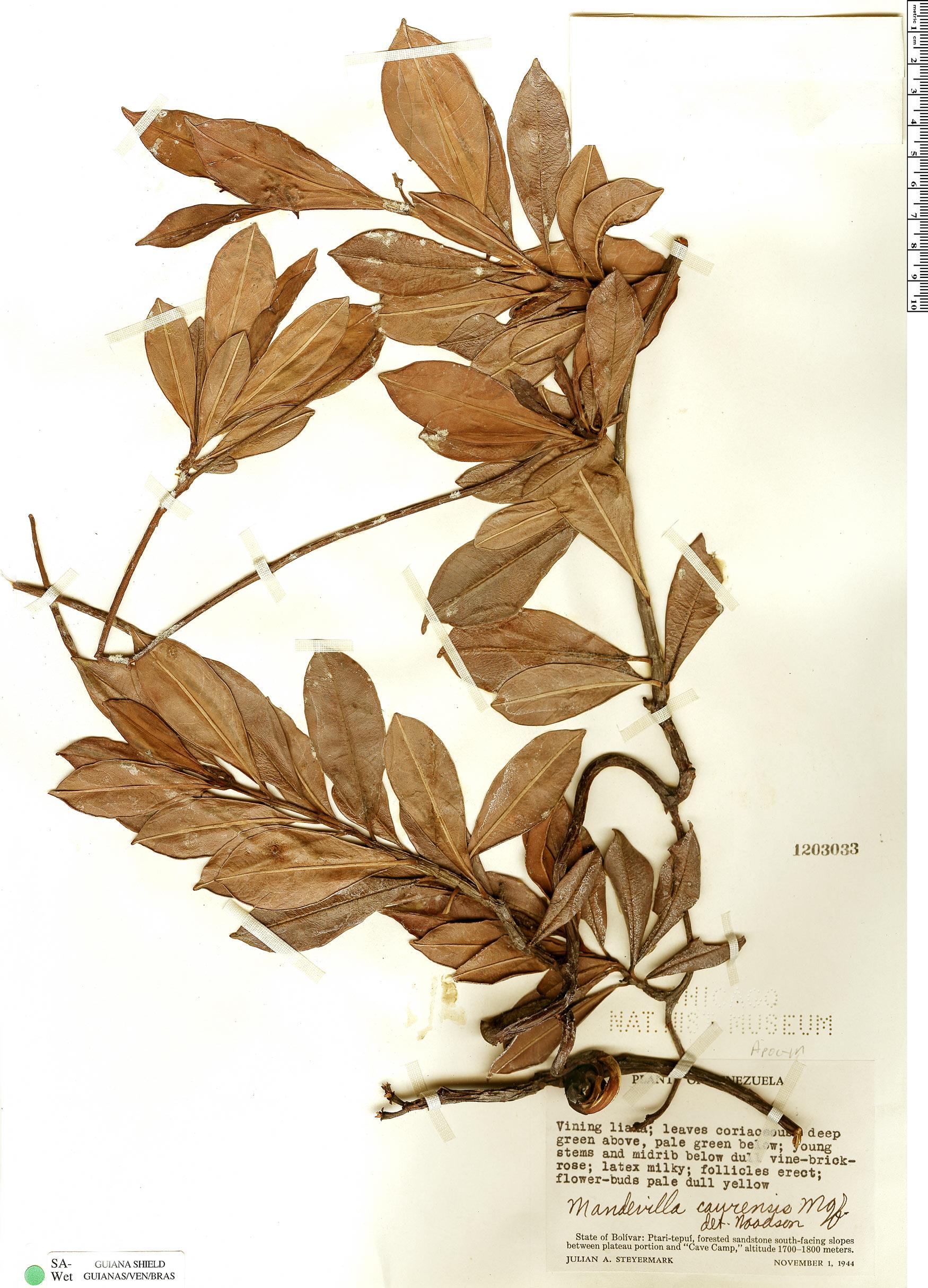Specimen: Mandevilla caurensis