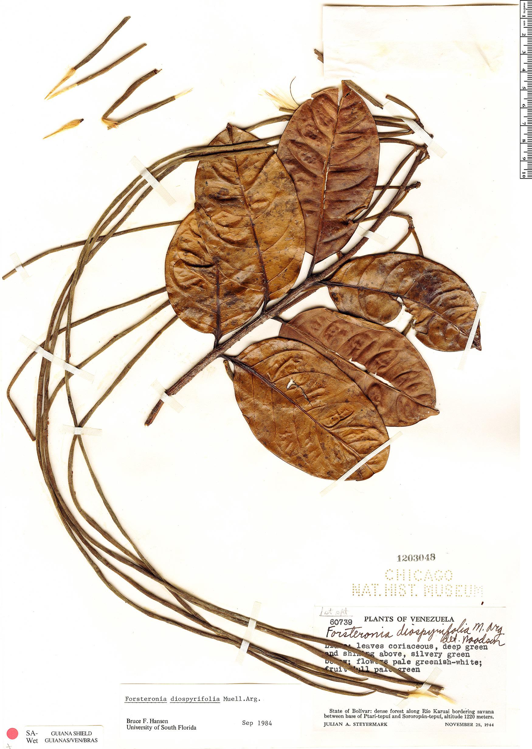 Specimen: Forsteronia diospyrifolia