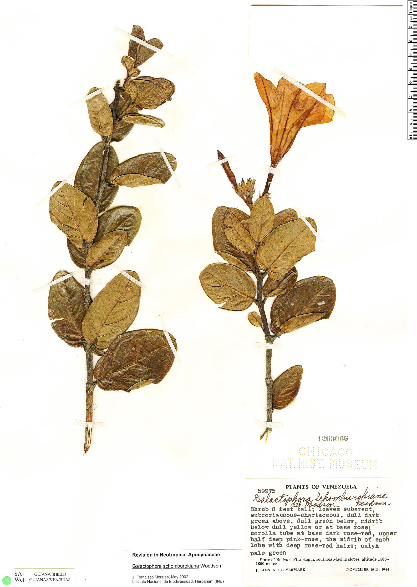 Espécimen: Galactophora schomburgkiana