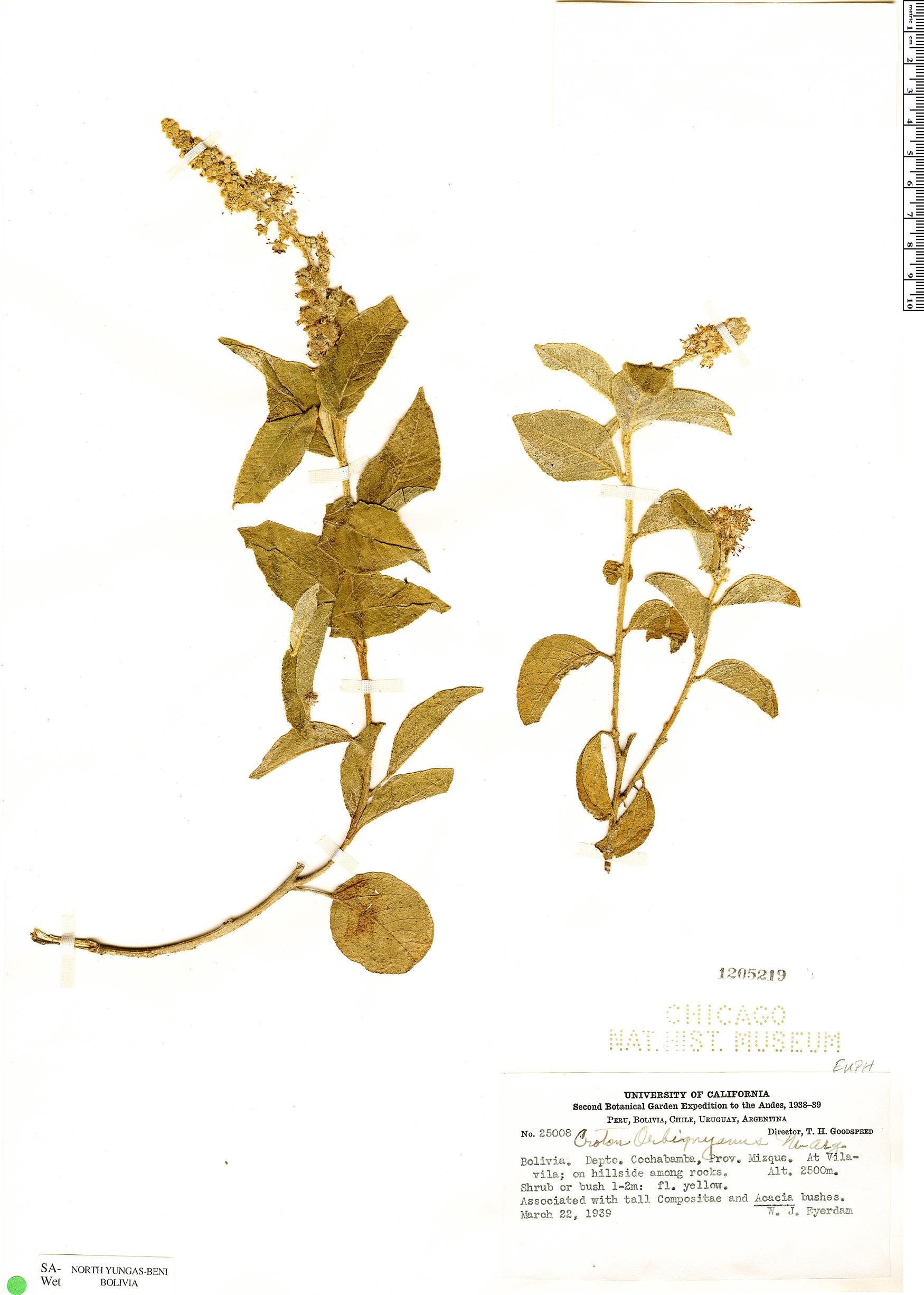 Specimen: Croton orbignyanus