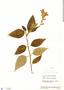 Salvia tortuosa Kunth, Ecuador, J. A. Steyermark 52425, F