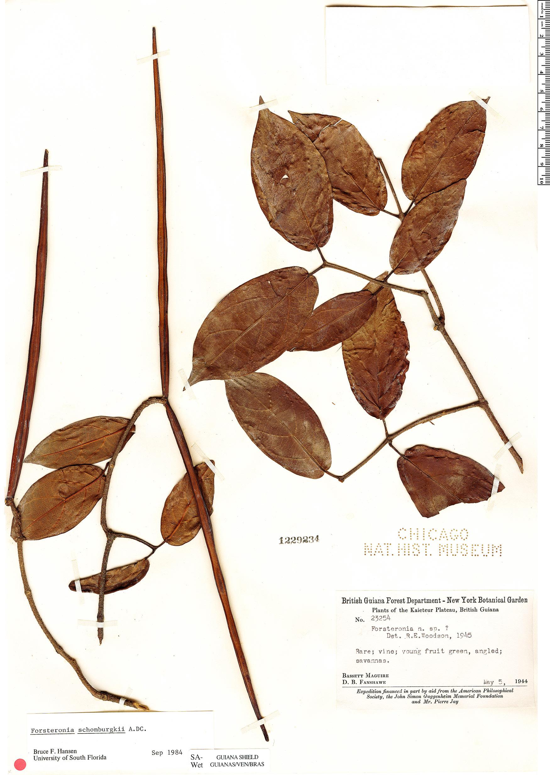 Specimen: Forsteronia schomburgkii