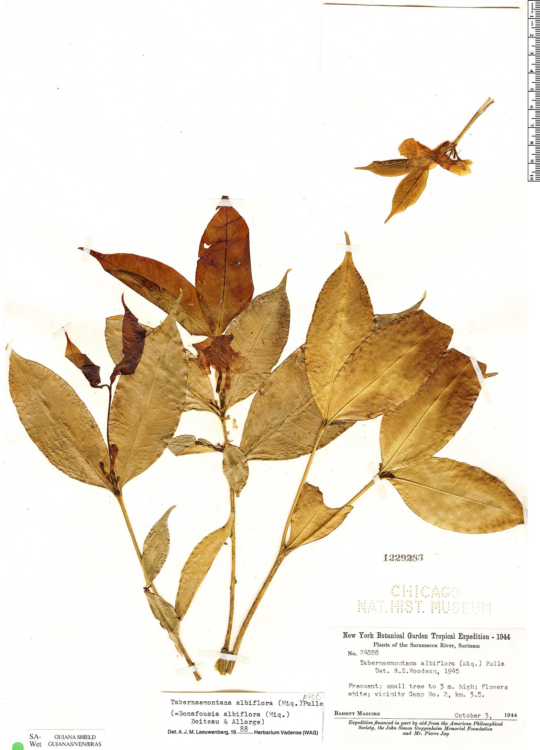 Specimen: Tabernaemontana albiflora