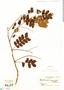 Albizia guachapele image