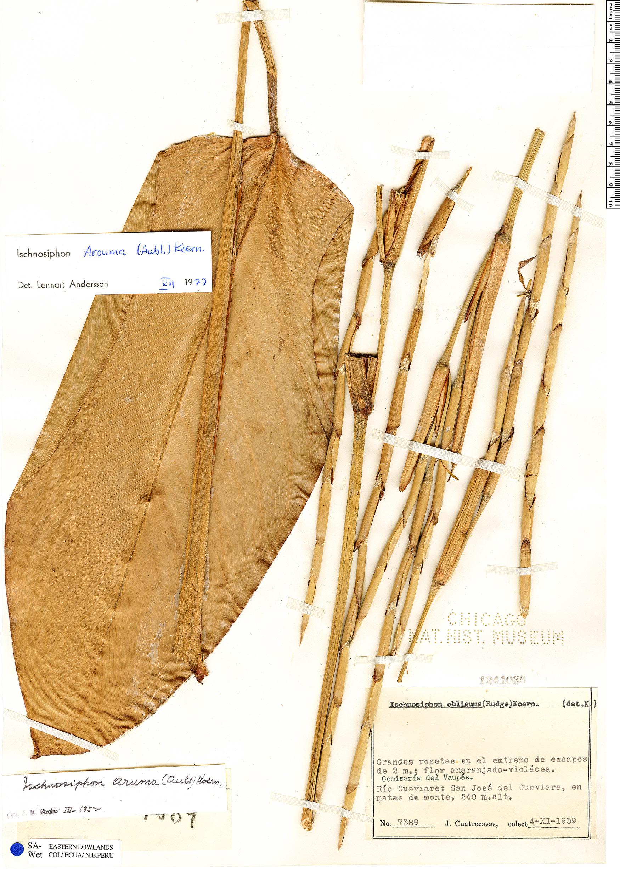 Espécimen: Ischnosiphon arouma