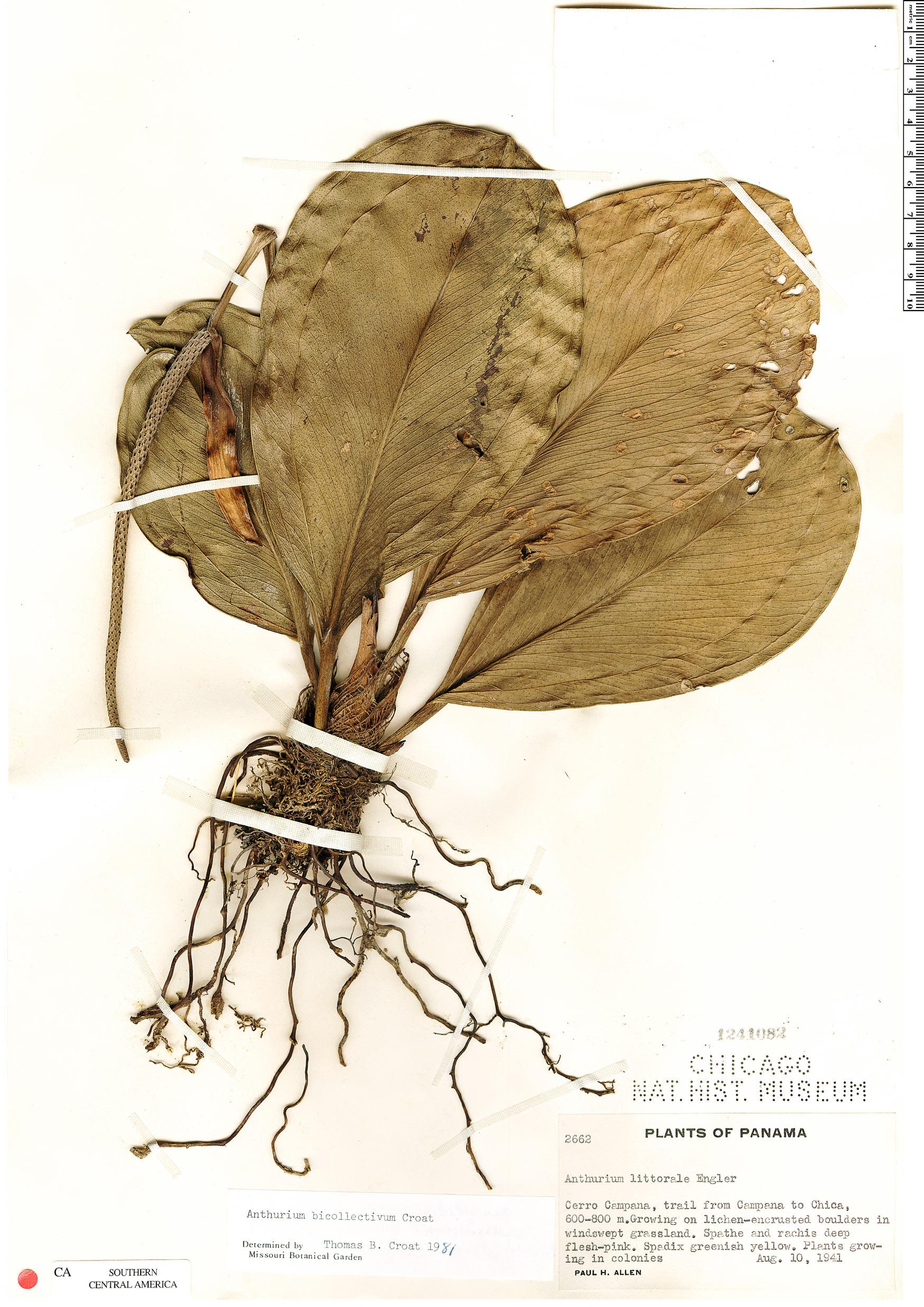 Espécime: Anthurium bicollectivum
