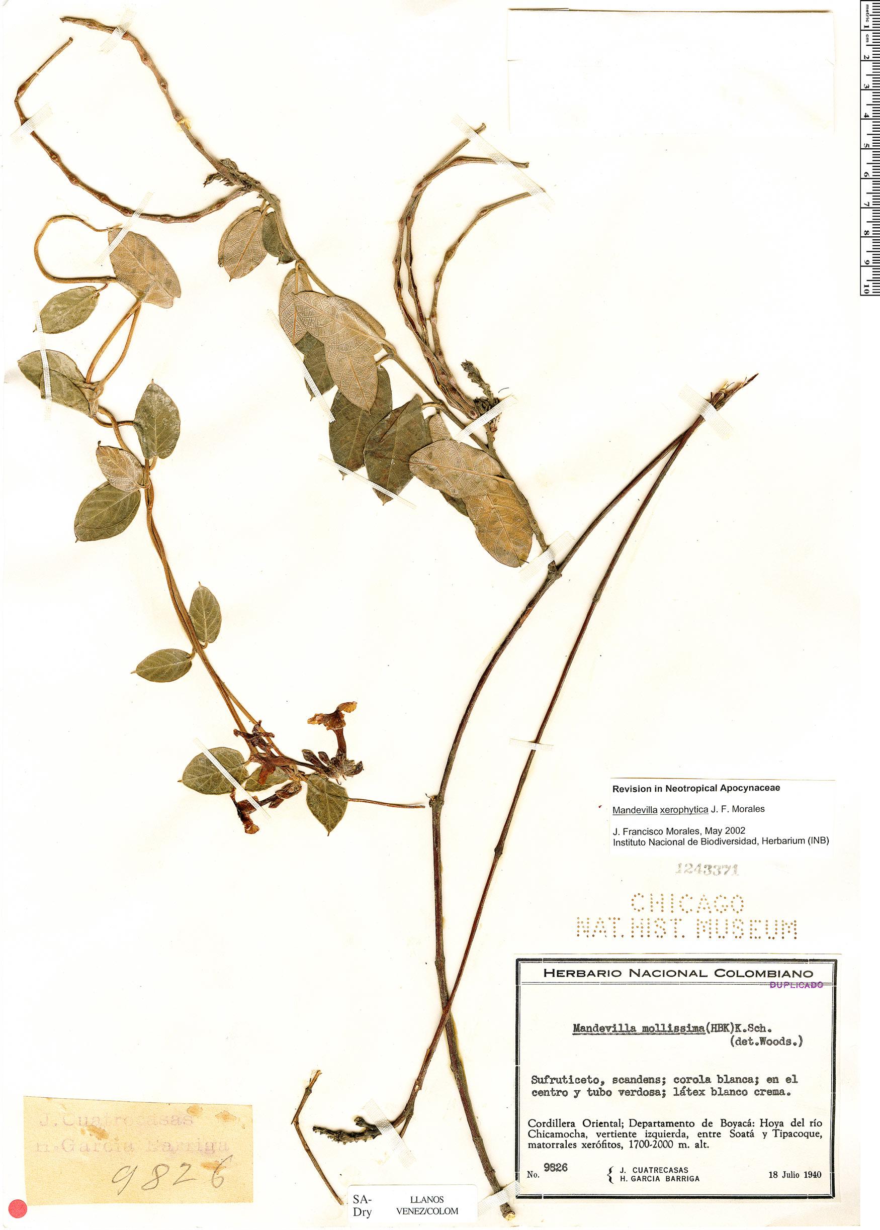 Specimen: Mandevilla xerophytica