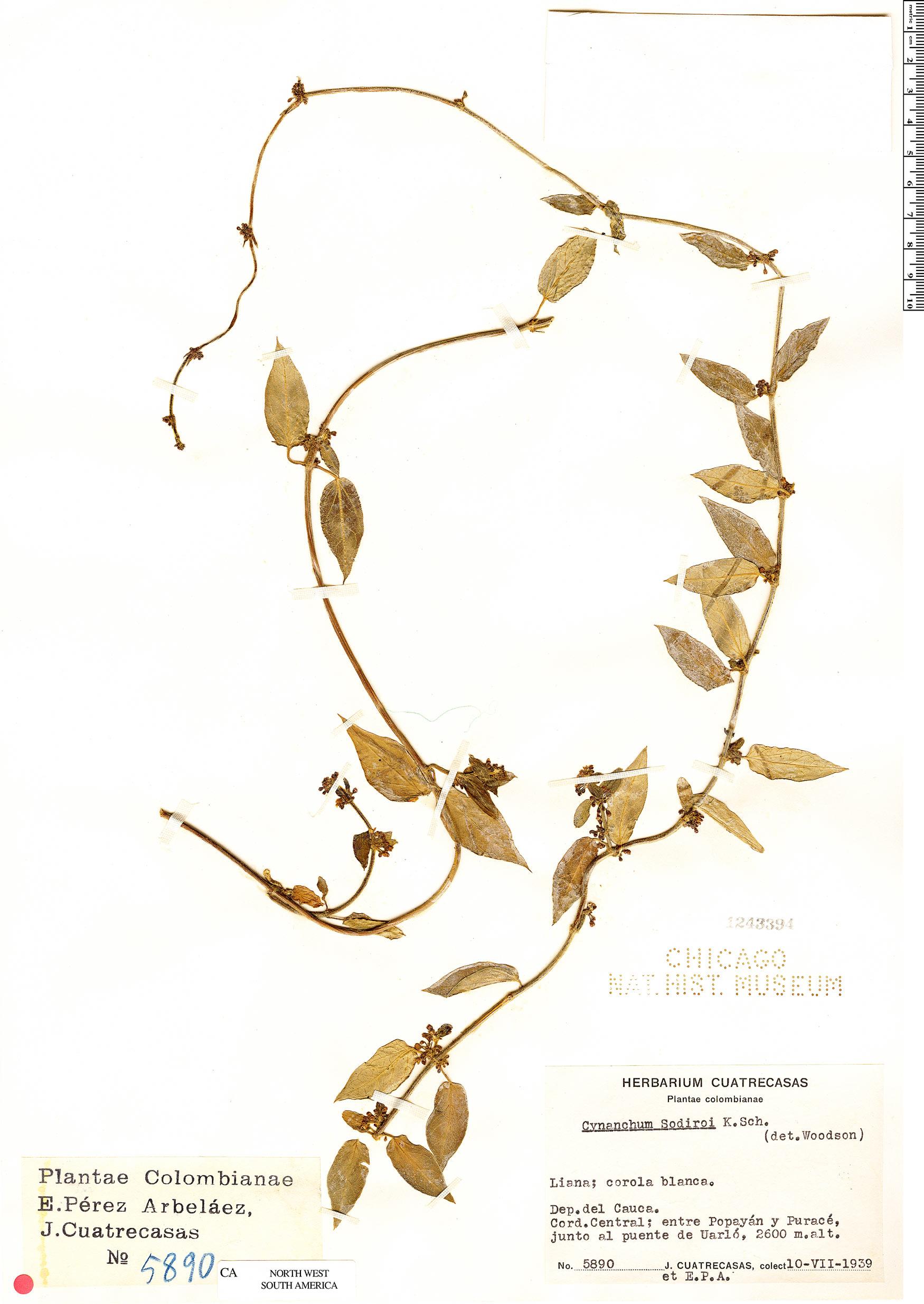 Specimen: Cynanchum sodiroi