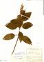 Salvia rufula Kunth, Colombia, J. Cuatrecasas 8184, F