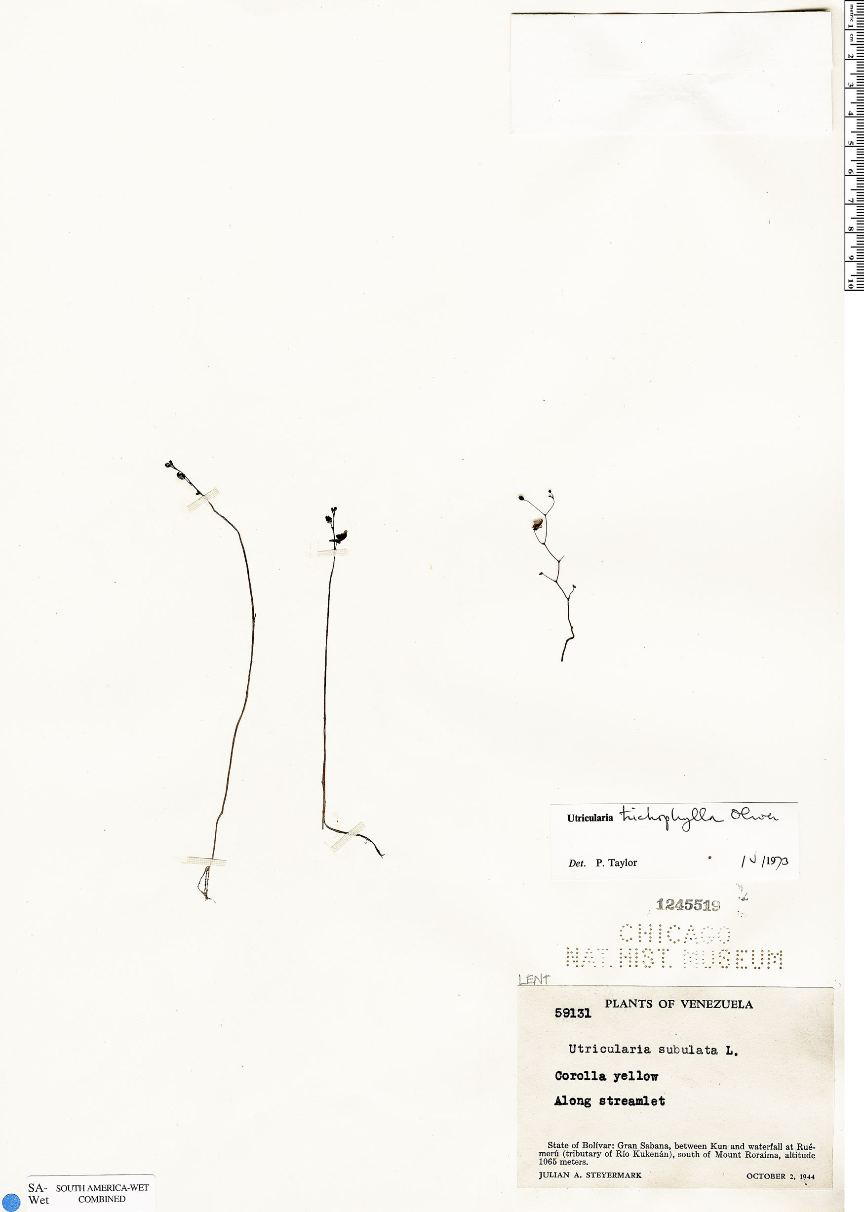 Utricularia trichophylla image