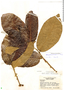Helicostylis turbinata, Brazil, R. de Lemos Fróes 21444, F