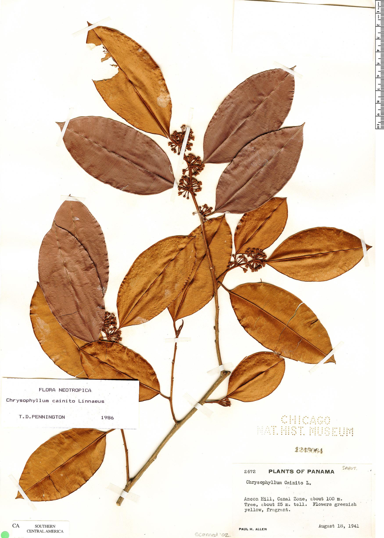 Specimen: Chrysophyllum cainito