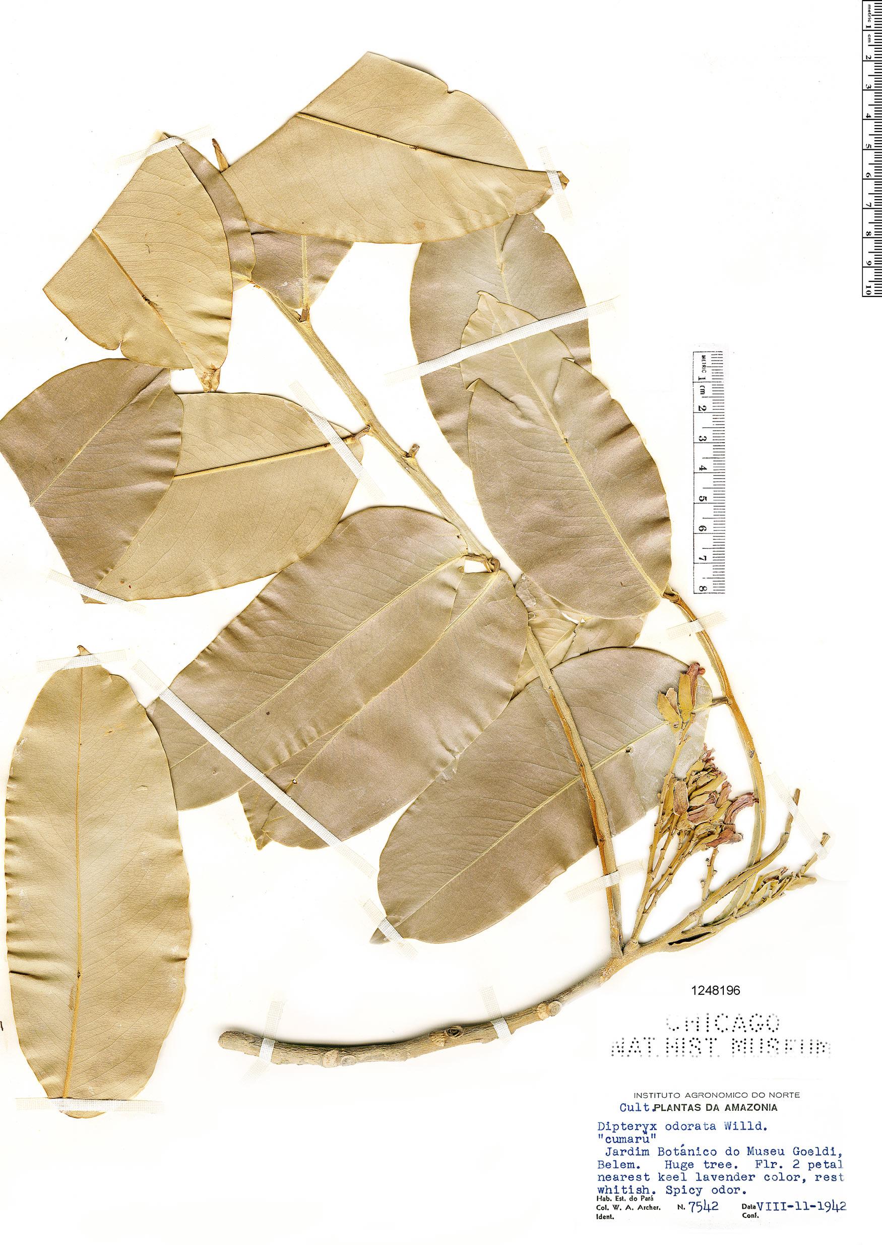 Specimen: Dipteryx odorata