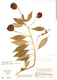 Burmeistera vulgaris image