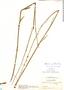 Byttneria genistella Triana & Planch., Colombia, O. L. Haught 2512, F