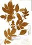 Paullinia mallophylla subsp. mallophylla, Colombia, O. L. Haught 1867, F