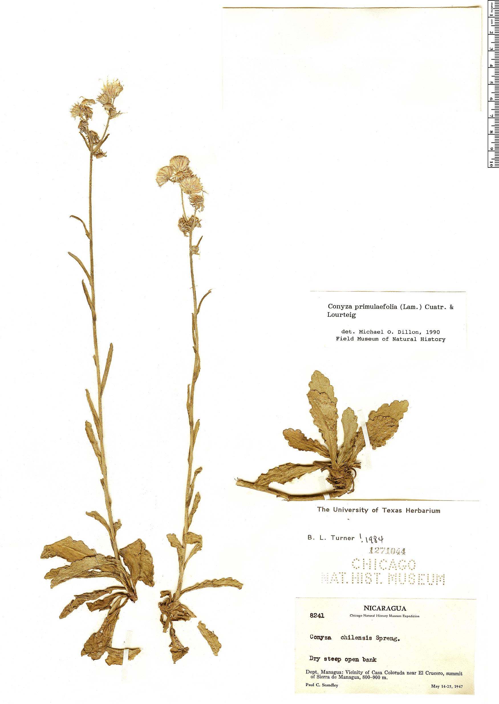 Specimen: Conyza primulifolia