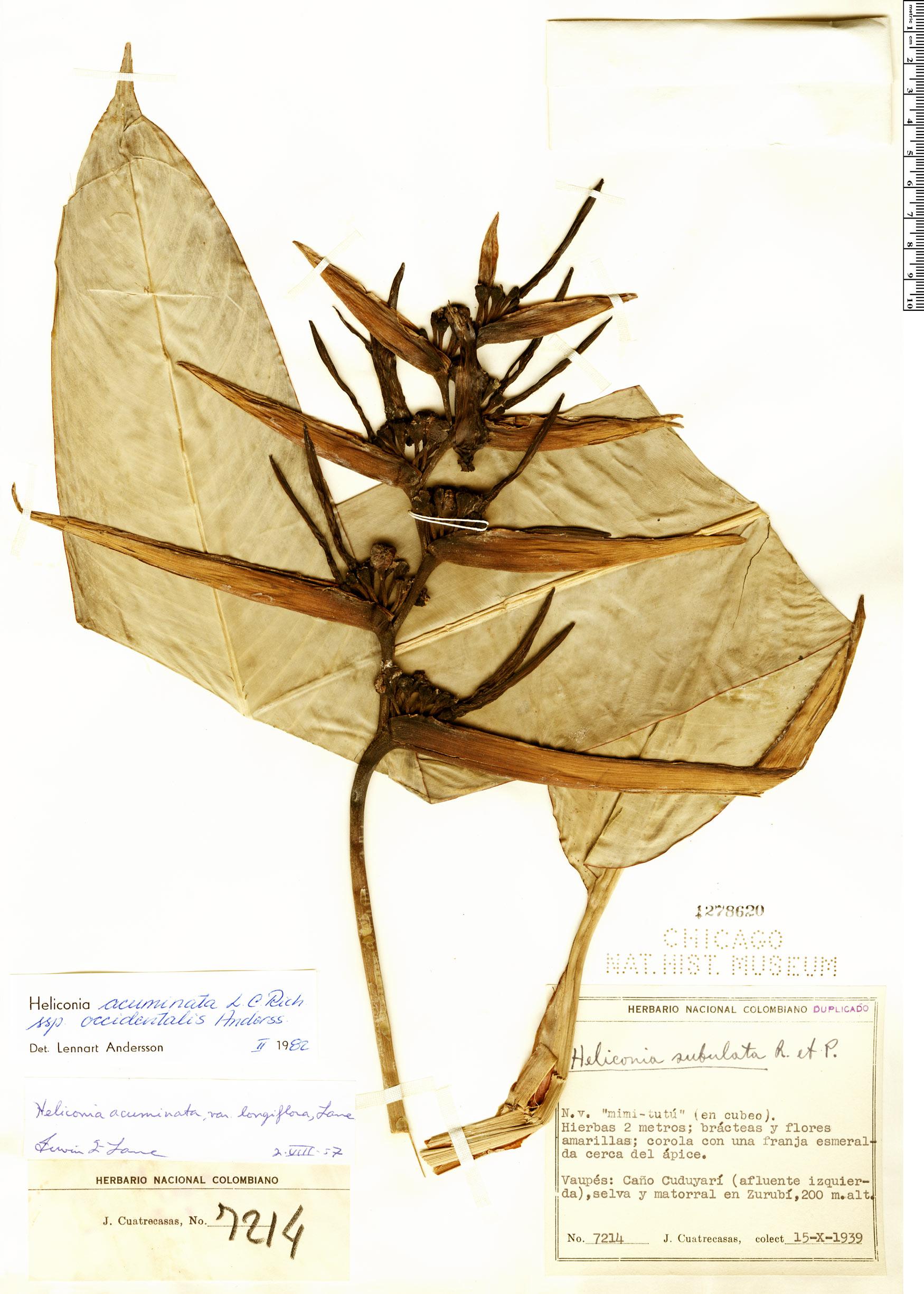 Specimen: Heliconia acuminata