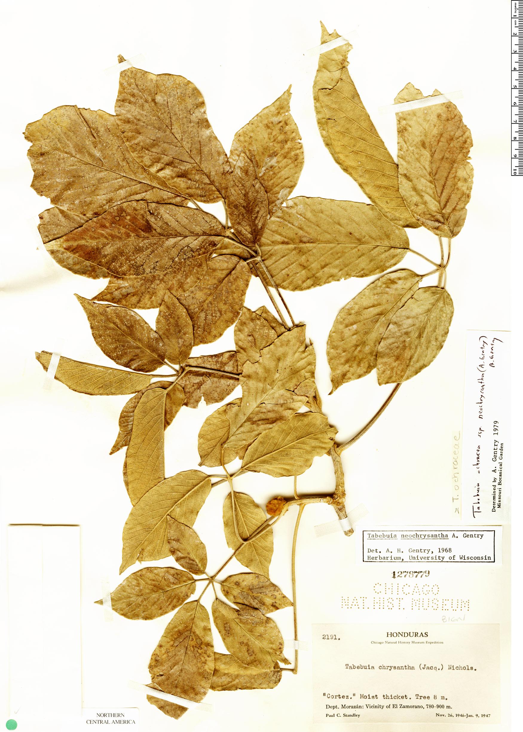 Specimen: Handroanthus ochraceus