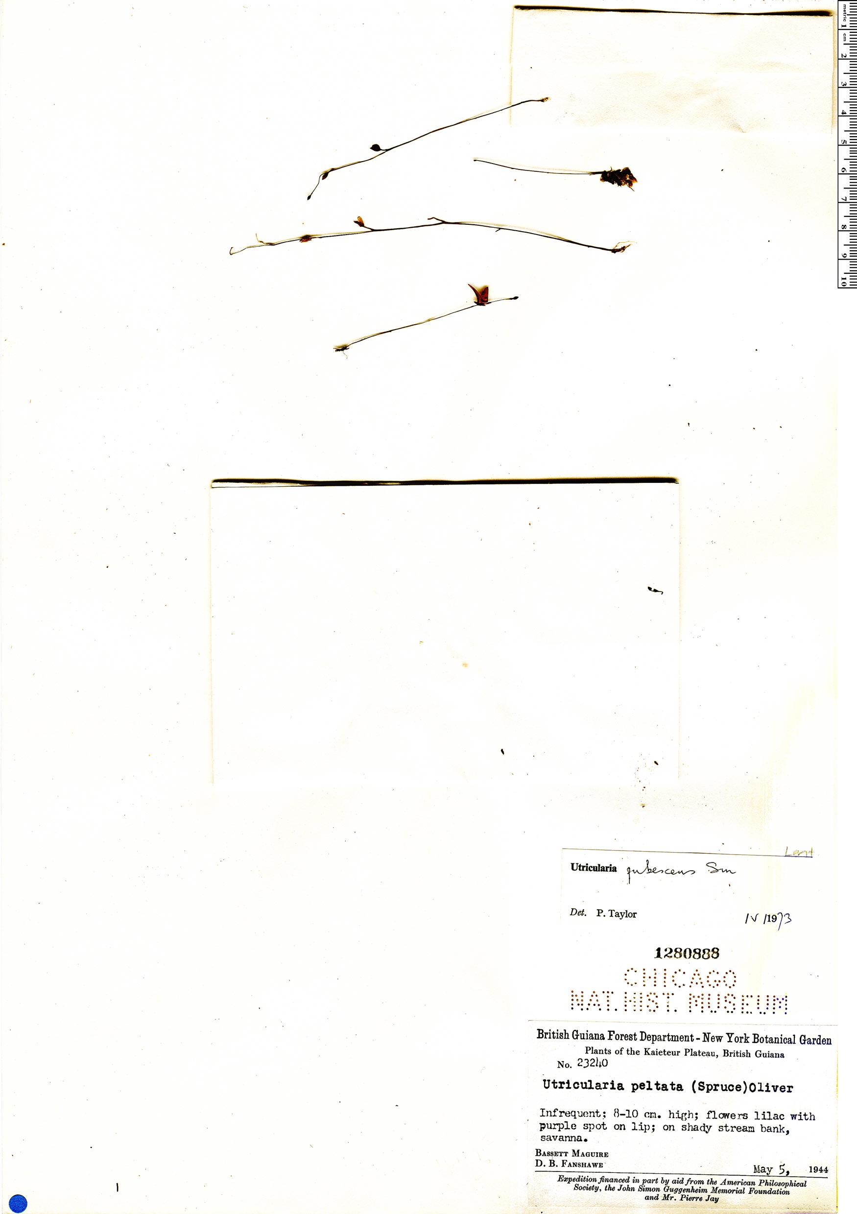 Specimen: Utricularia pubescens