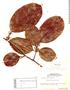 Casearia pitumba Sleumer, GUYANA, F.D.5328, F