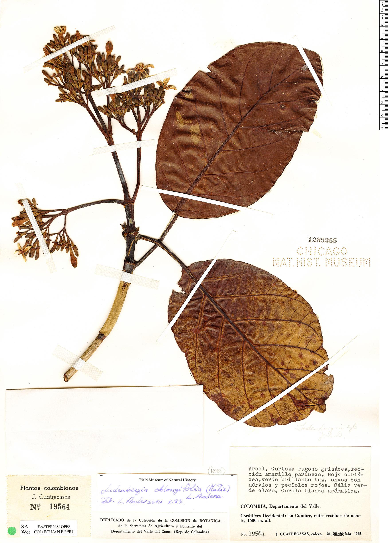 Specimen: Ladenbergia oblongifolia