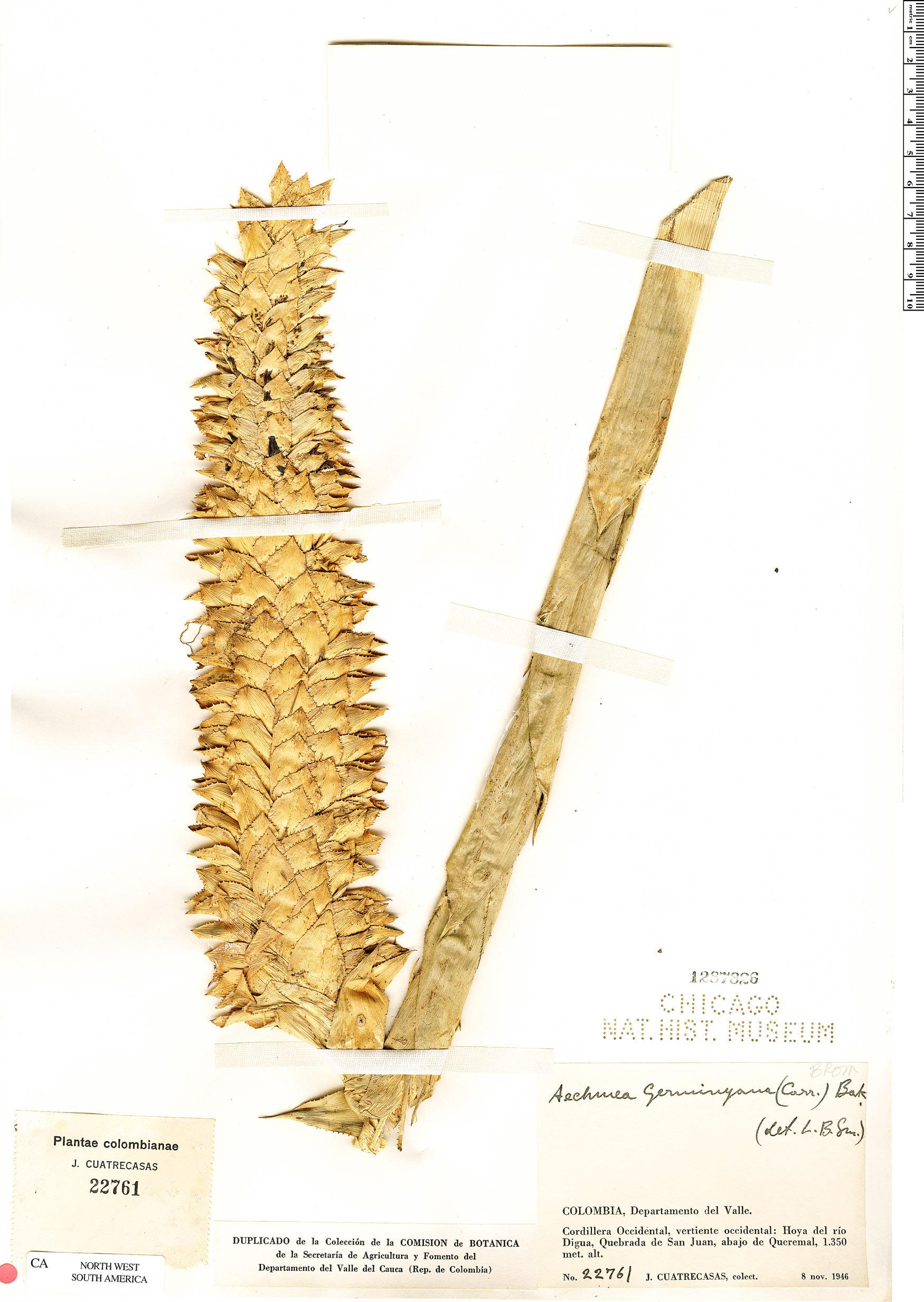 Specimen: Aechmea germinyana