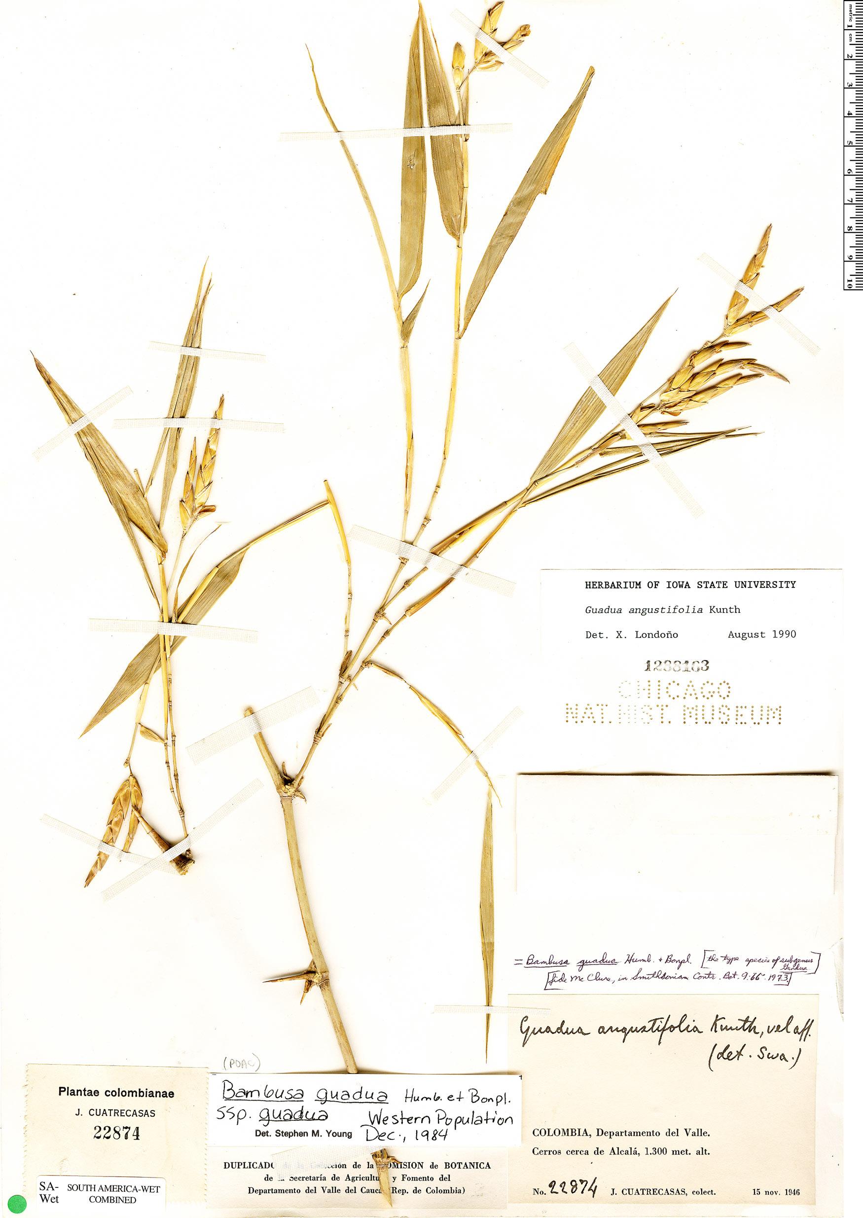 Specimen: Guadua angustifolia