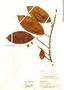 Ficus americana subsp. americana, Colombia, E. P. Killip 39080, F