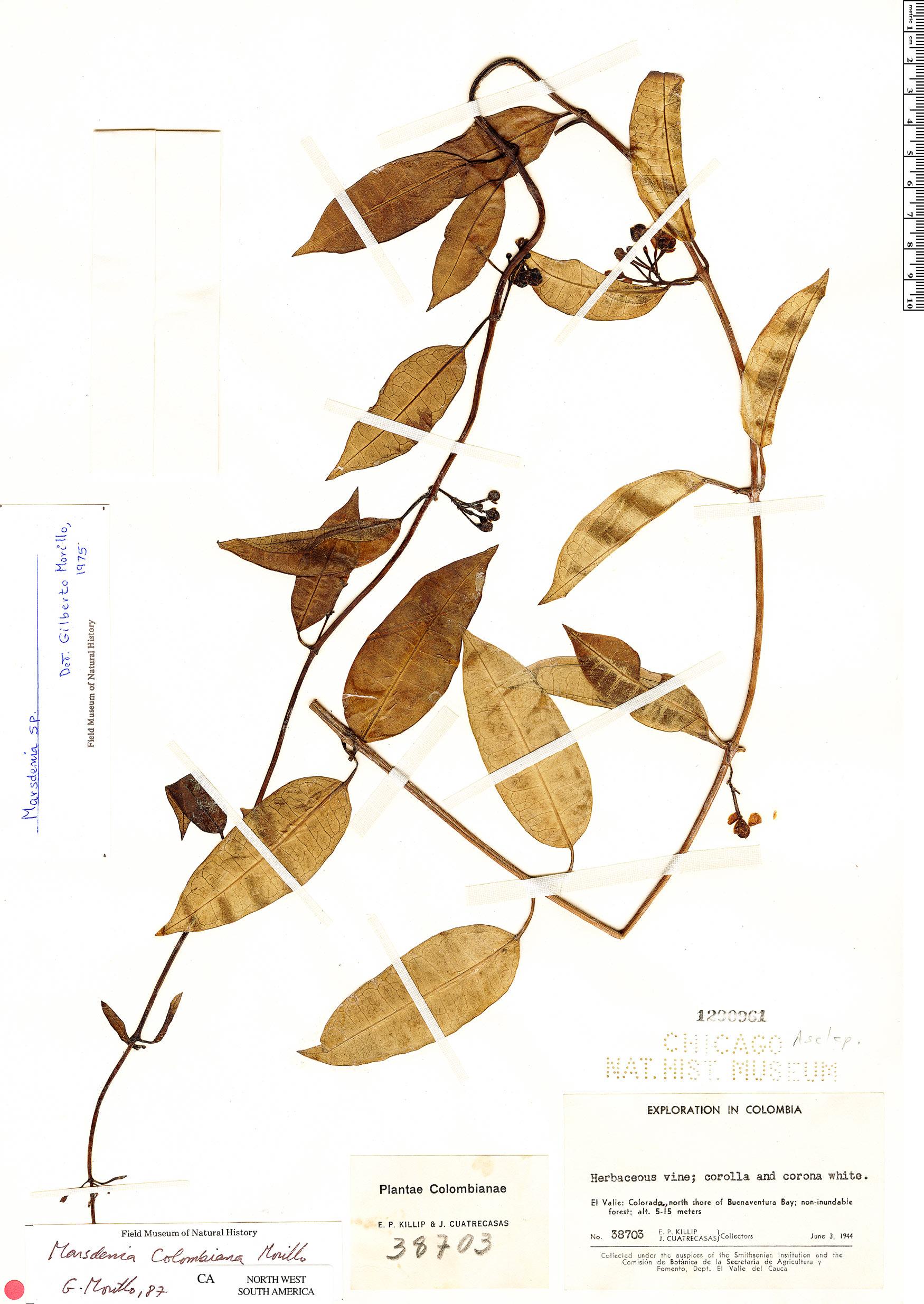 Specimen: Marsdenia colombiana