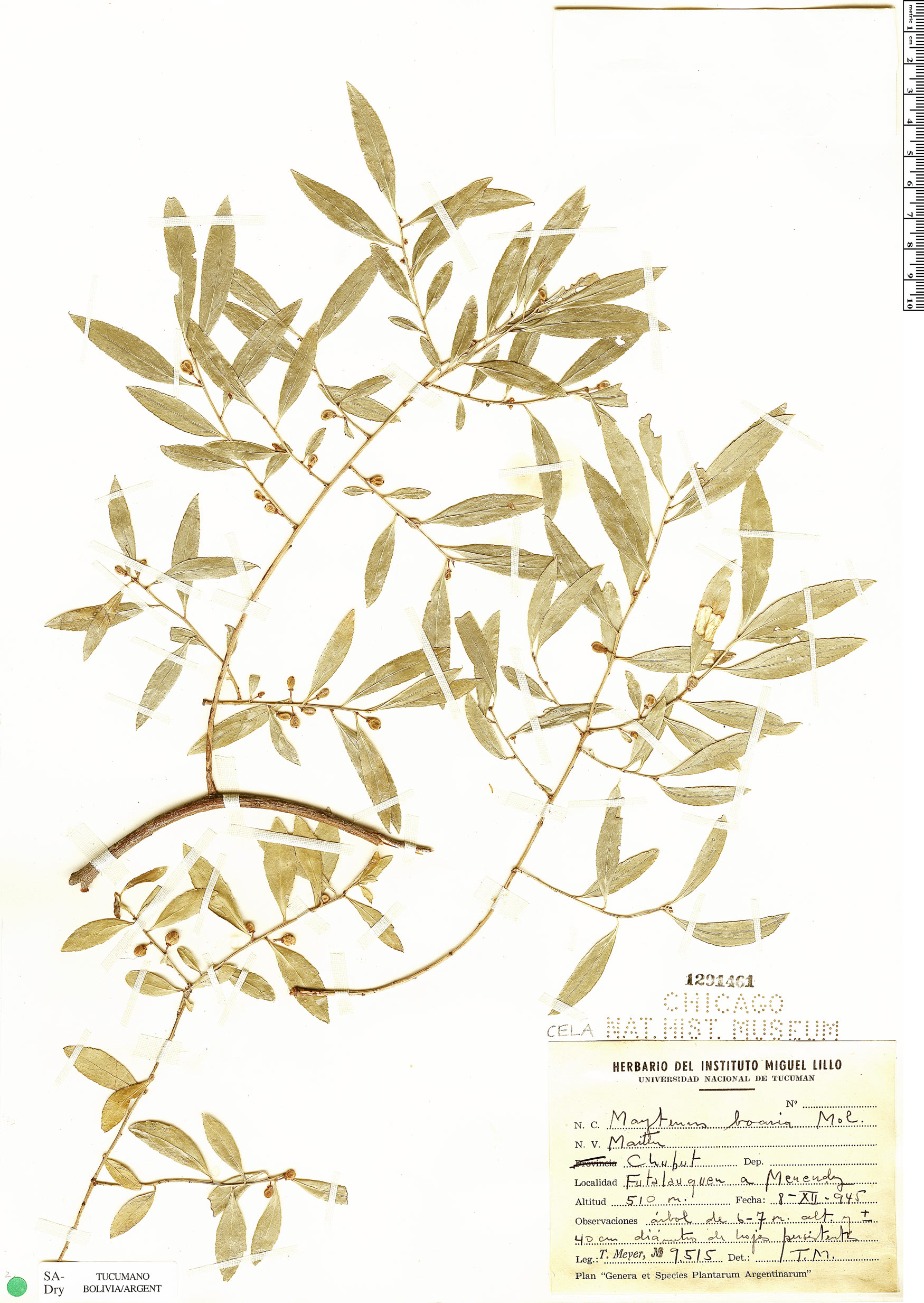 Specimen: Maytenus boaria