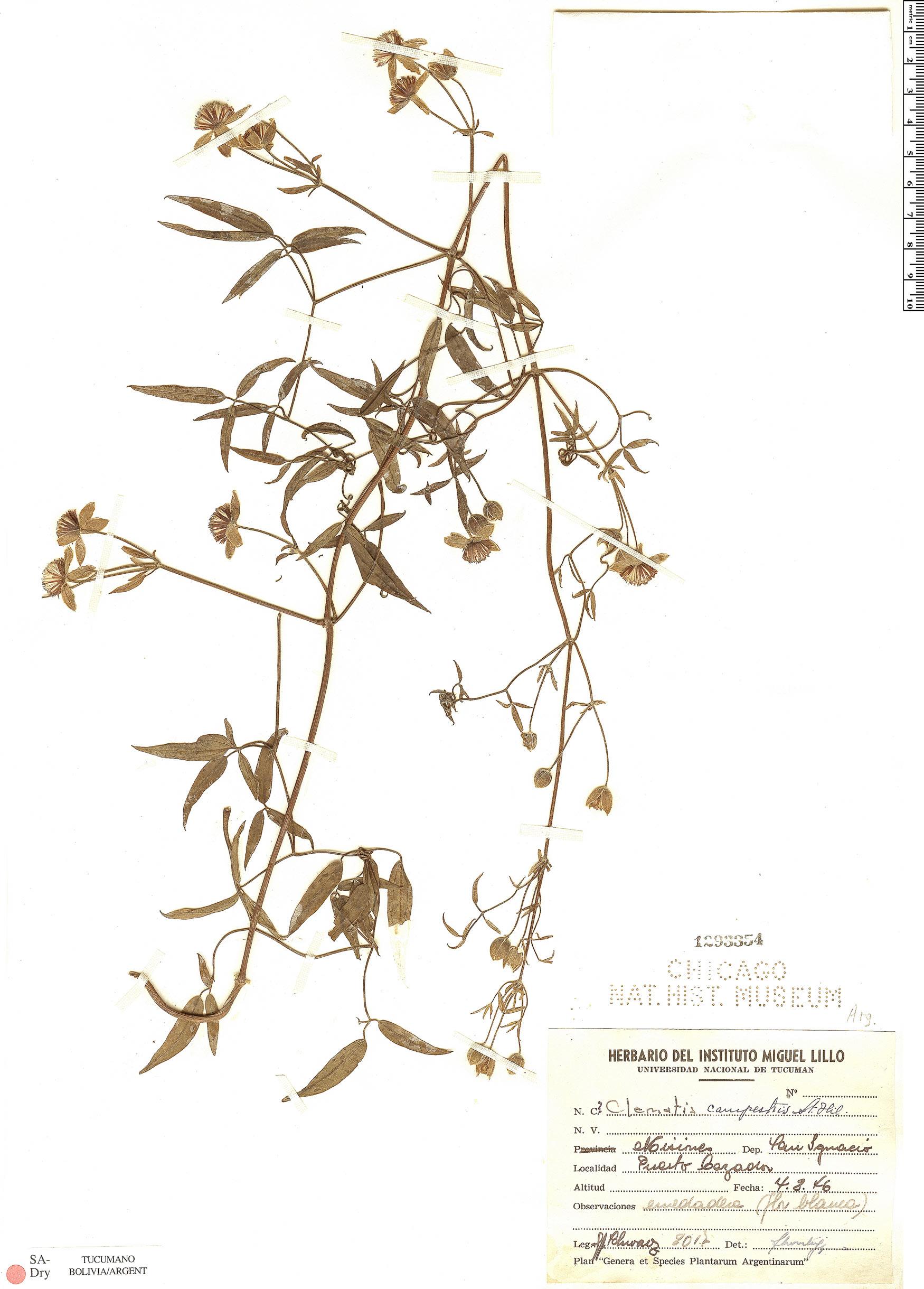 Specimen: Clematis campestris
