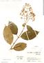 Conostegia montana (Sw.) D. Don ex DC., Colombia, J. Cuatrecasas 16663, F