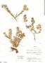 Triolena pileoides (Triana) Wurdack, Colombia, J. Cuatrecasas 16696, F