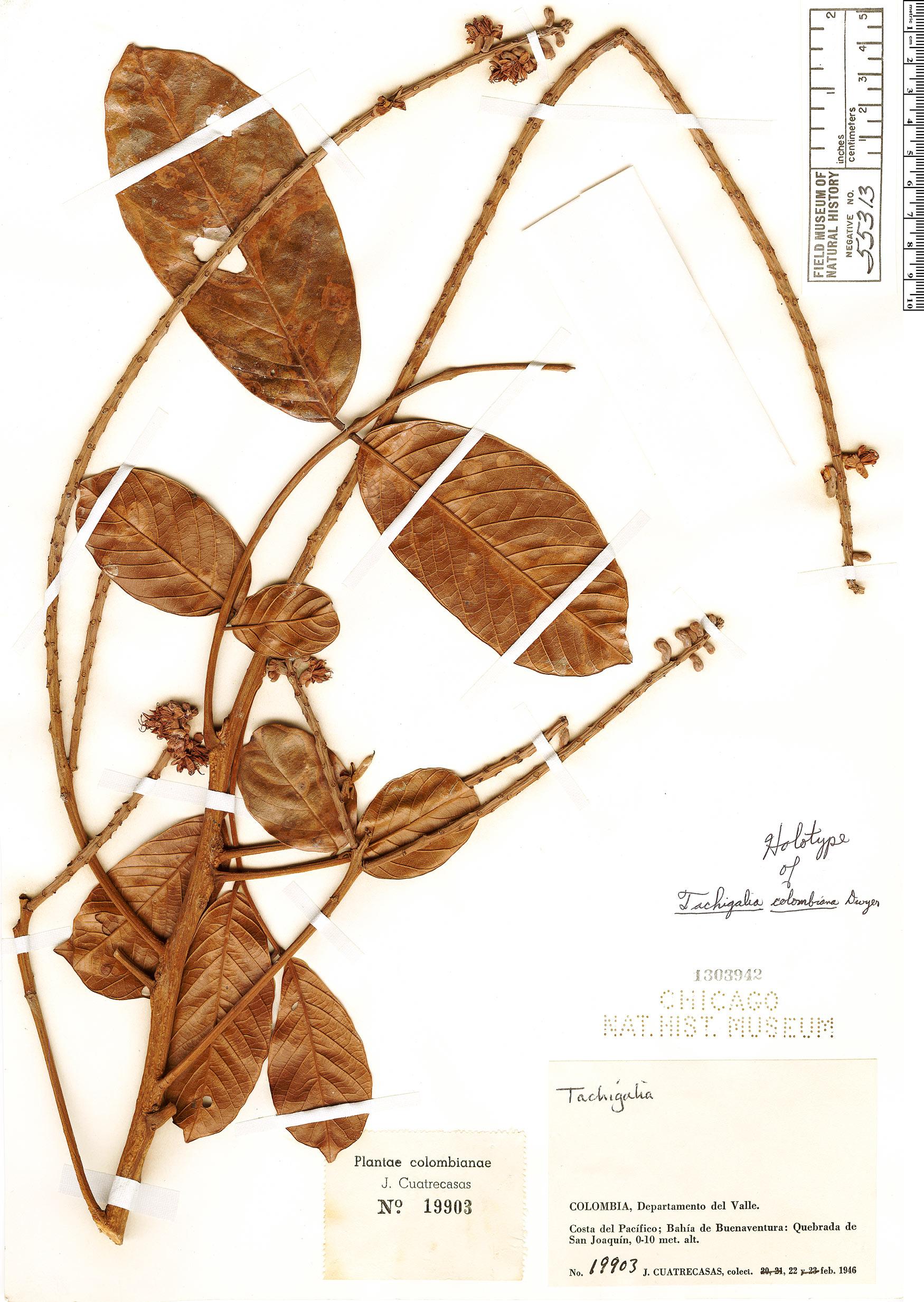 Specimen: Tachigali colombiana