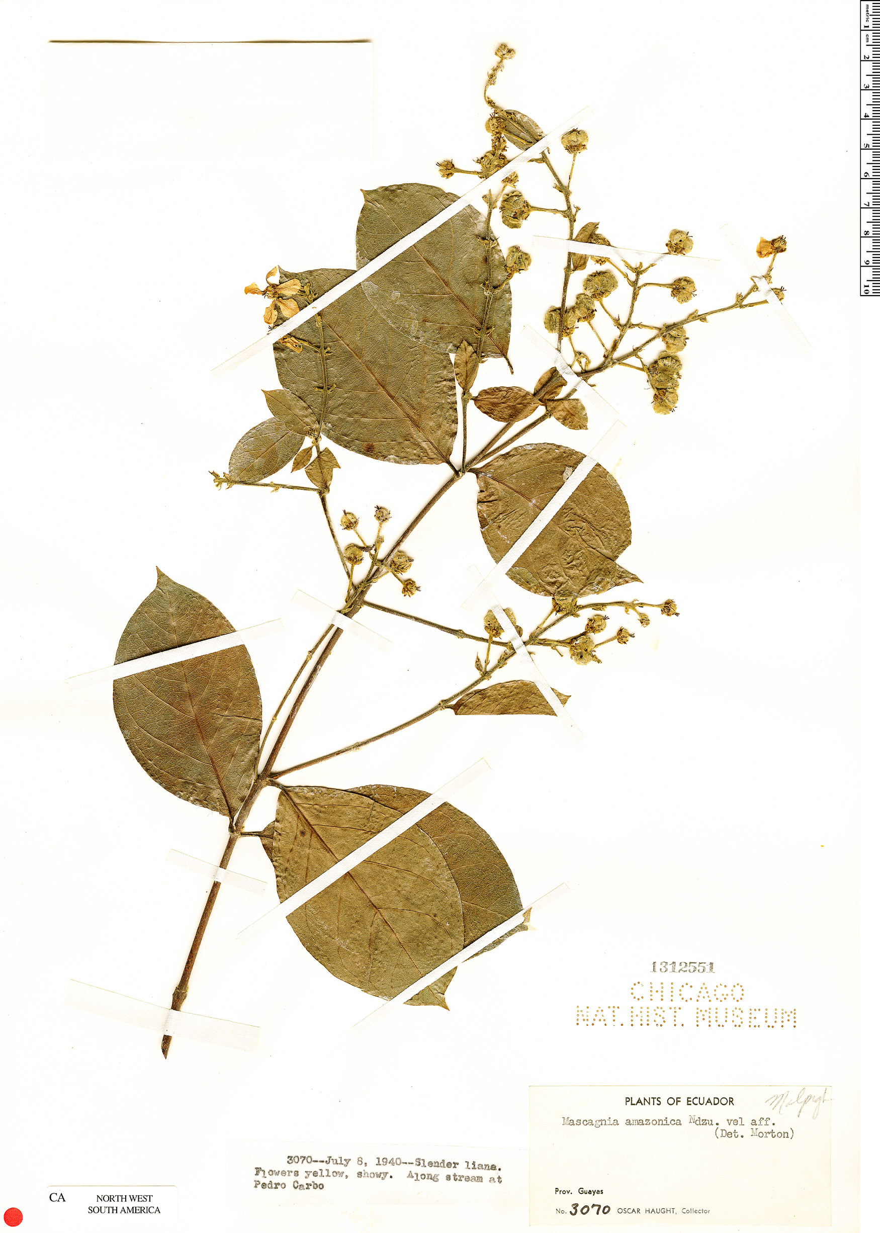 Espécimen: Amorimia kariniana