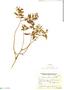 Salvia gilliesii Benth., Argentina, L. Monetti 2023, F