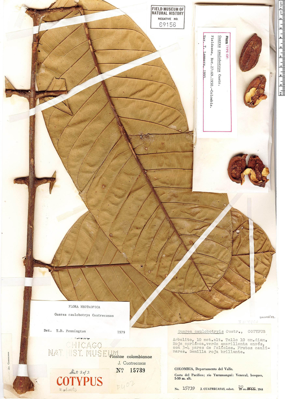 Specimen: Guarea caulobotrys