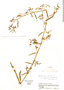 Aeschynomene americana var. glandulosa (Poir. & Lam.) Rudd, Colombia, J. Cuatrecasas 23085, F