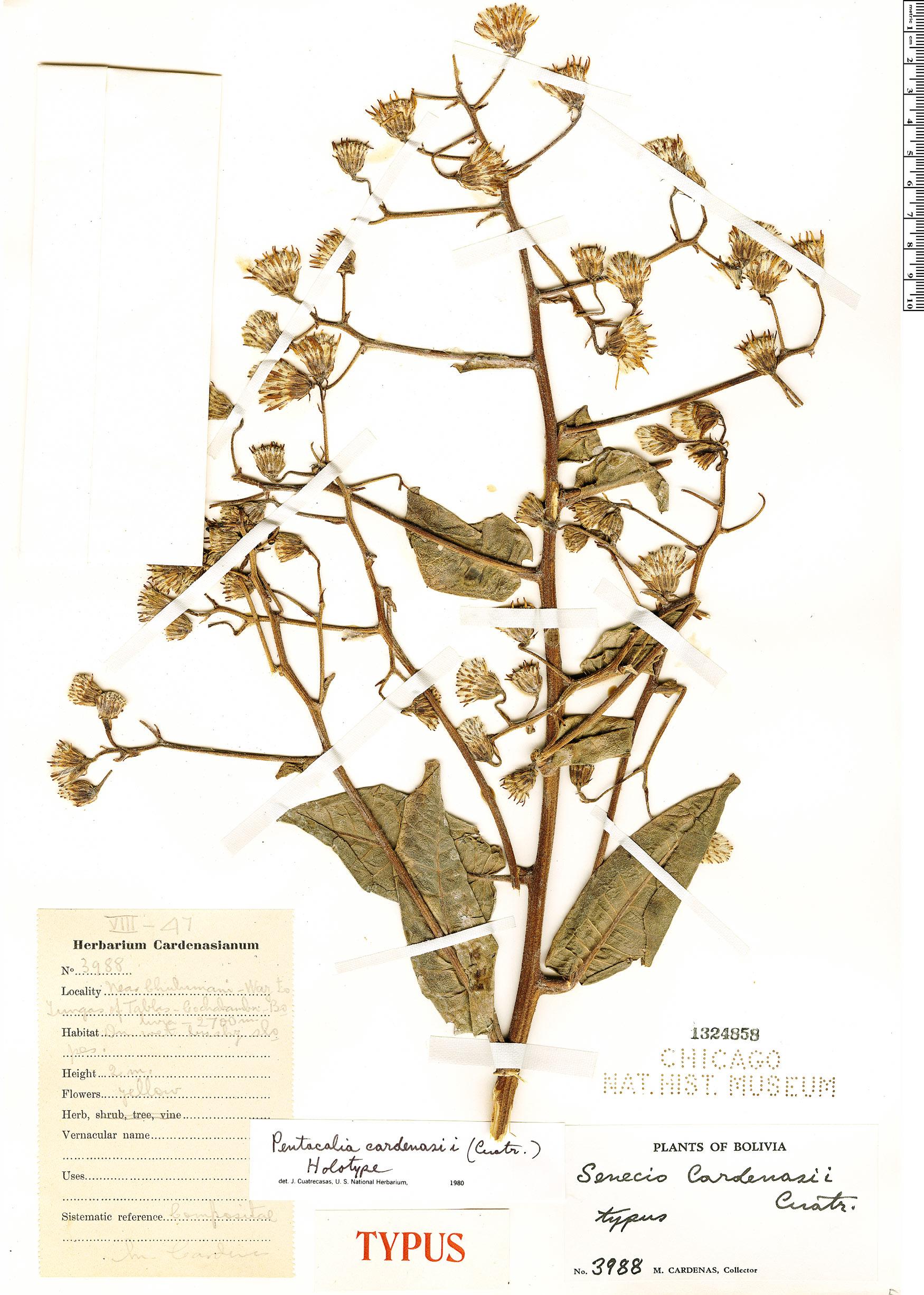 Specimen: Pentacalia cardenasii